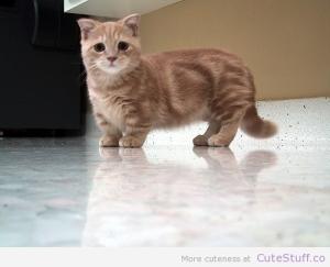 Munchkin-cat