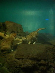 "While on vacation, we got a chance to visit the Cincinnati Zoo! These were called ""Sand Cats"", never had seen one of these before. They were pretty darn cute!"